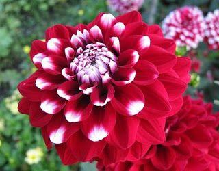 Macam Macam Nama Bunga Terindah Di Dunia Bunga Taman Bunga Bunga Dahlia