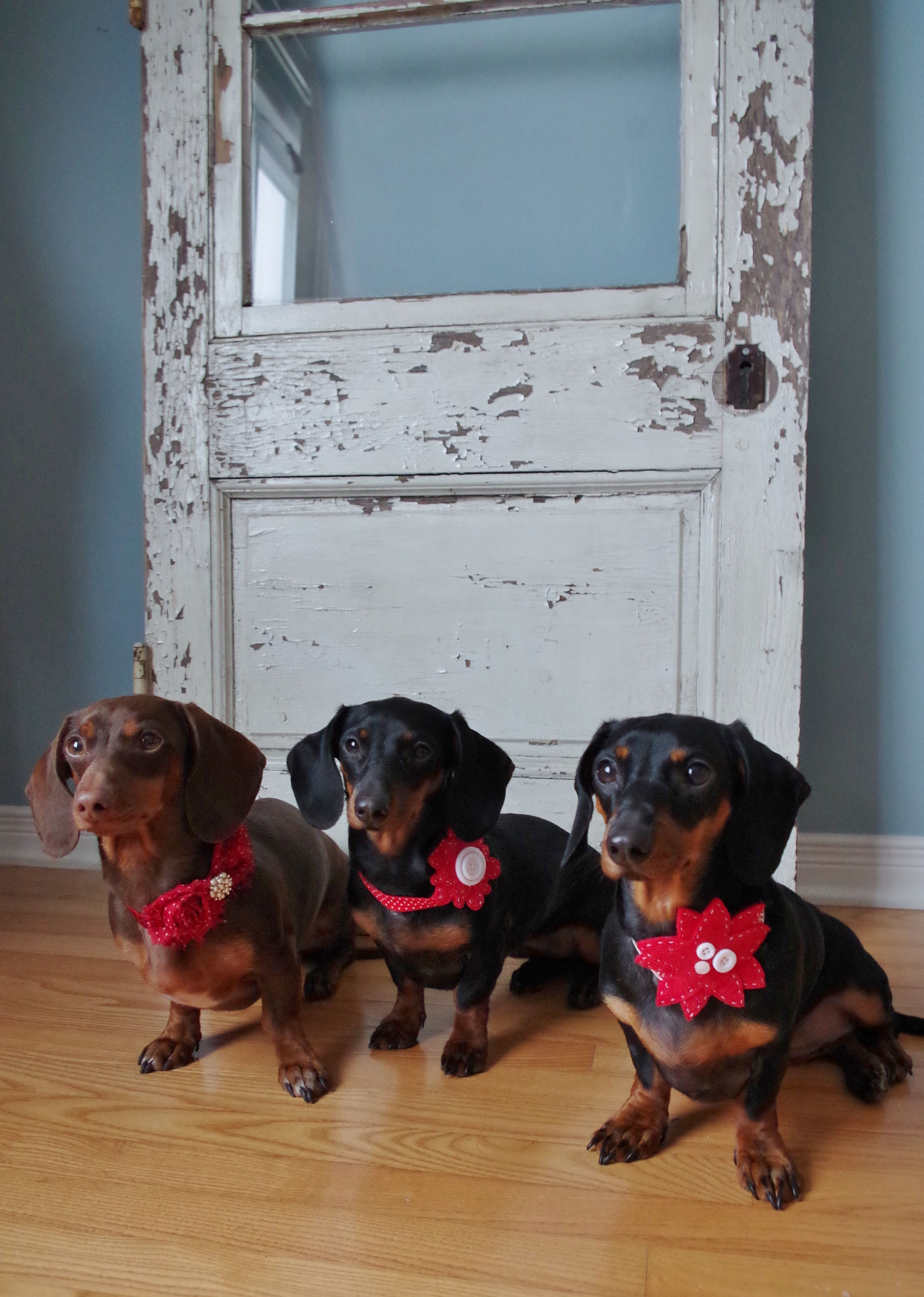 The girls rockin' their Christmas collars by Felt From the Heart XXOO.  https://www.etsy.com/ca/shop/FeltFromTheHeartXXOO?section_id=16206868&ref=shopsection_leftnav_6