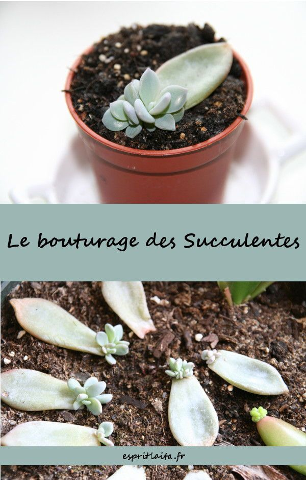 Bouturer Les Succulentes Bouturer Les Plantes Grasses