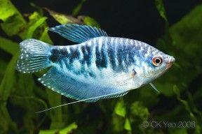 Trichopodus Trichopterus Three Spot Gourami Aquarium Fish Tropical Fish Aquarium Freshwater Aquarium Fish