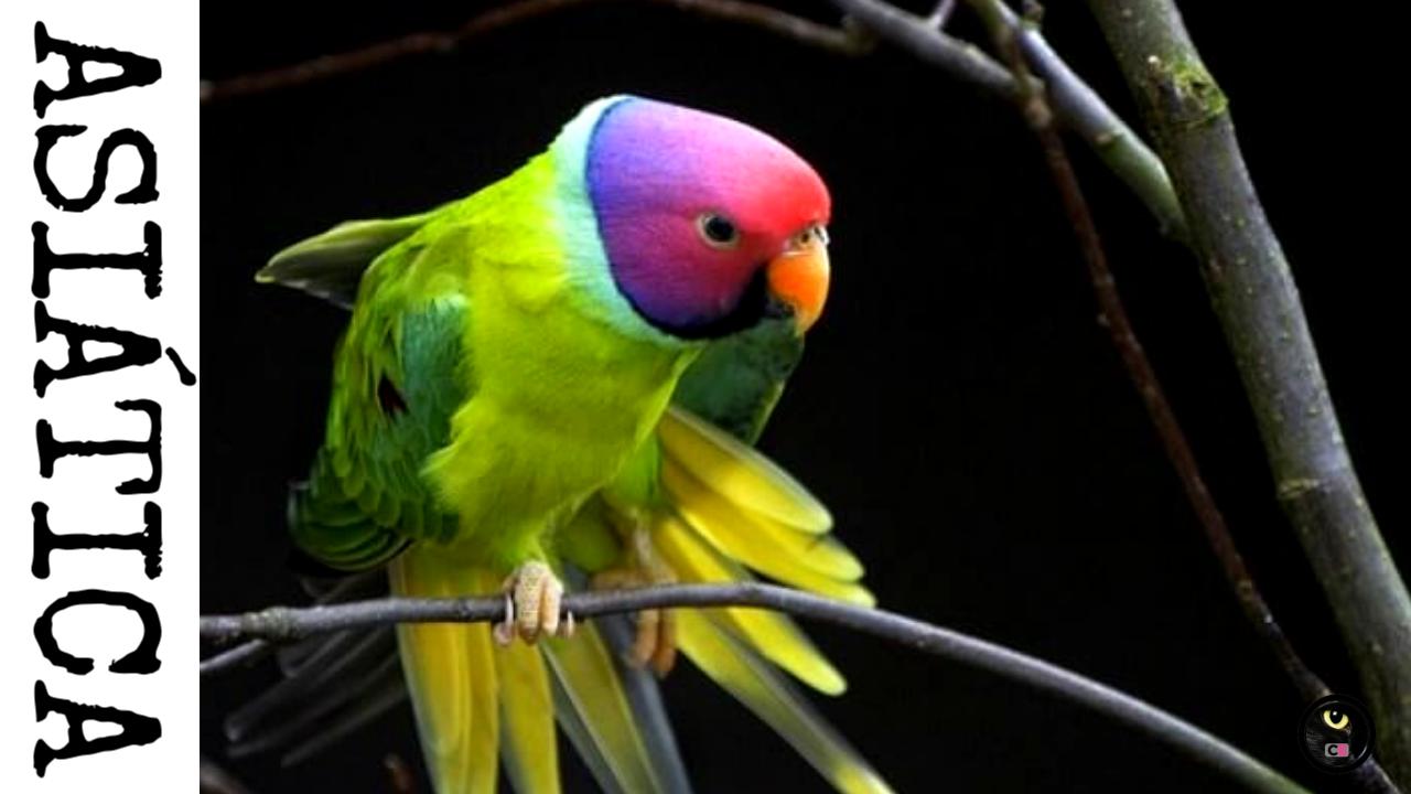 Curiosidades Y Respuestas A Todas Tus Preguntas Cotorro Aves Exoticas Del Mundo Loros