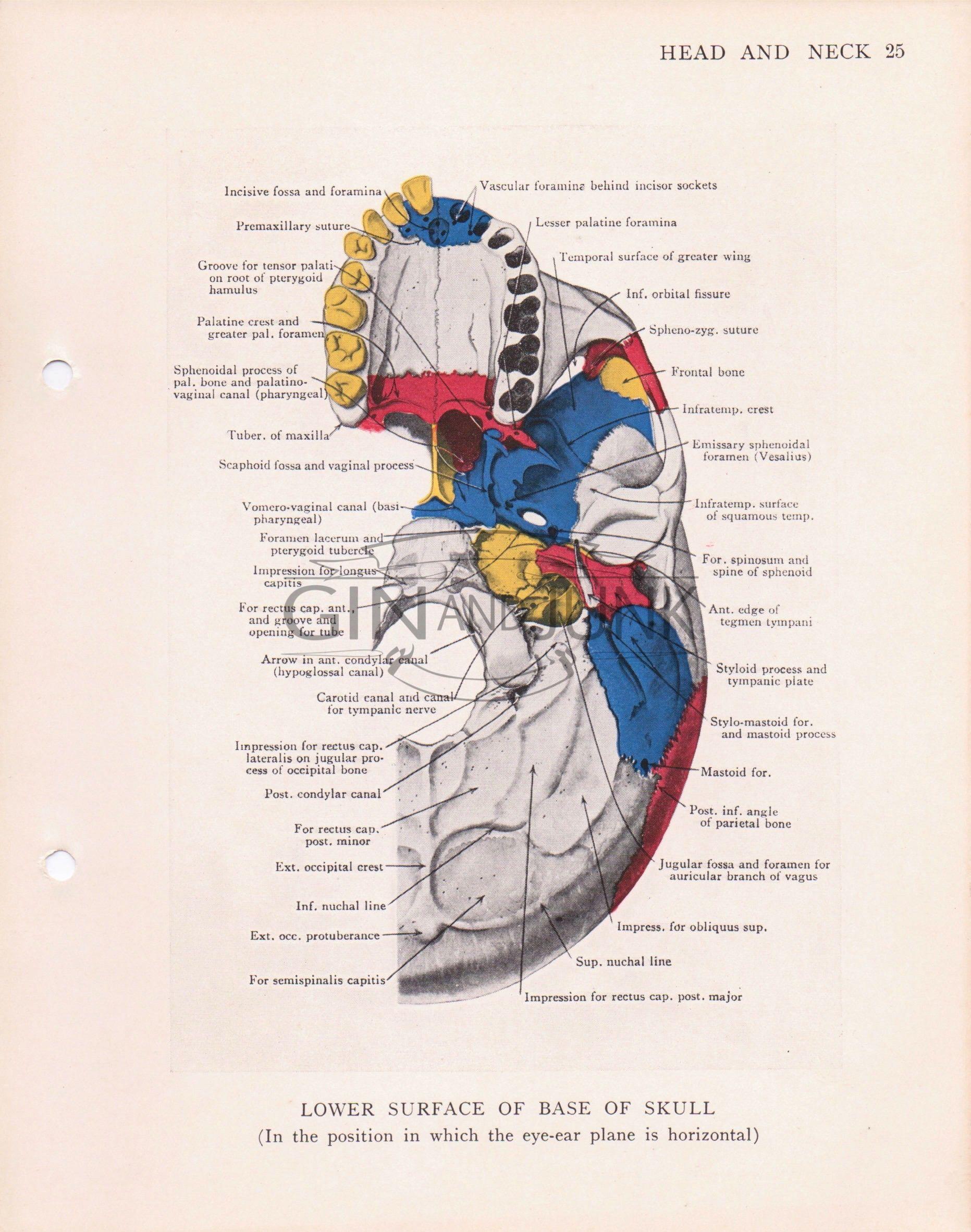 Antique Anatomy Print. Base of Human Skull, Gothic Art, Medical ...