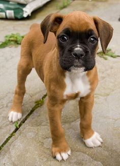 boxer puppy - Google Search
