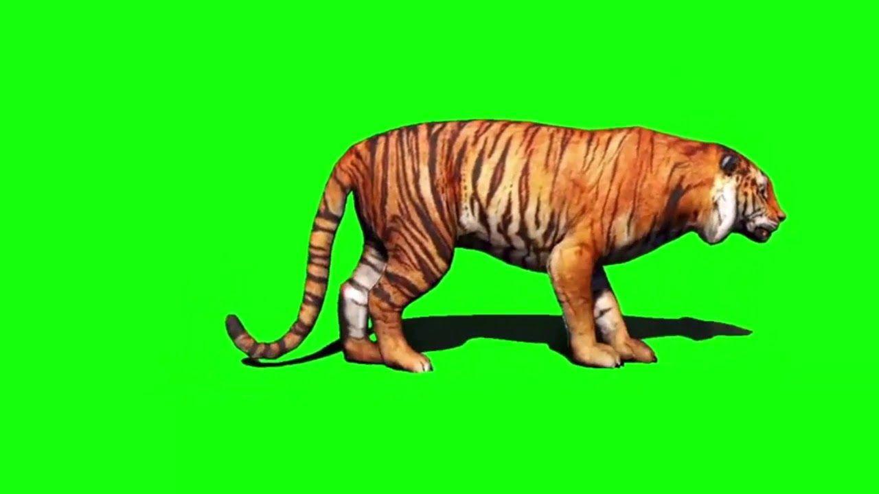 50 Best Tiger Video Green Screen Video Backgrounds 8