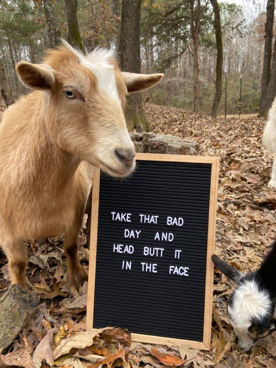 Funny Goat In 2021 Goats Funny Funny Goat Memes Animal Puns Funny