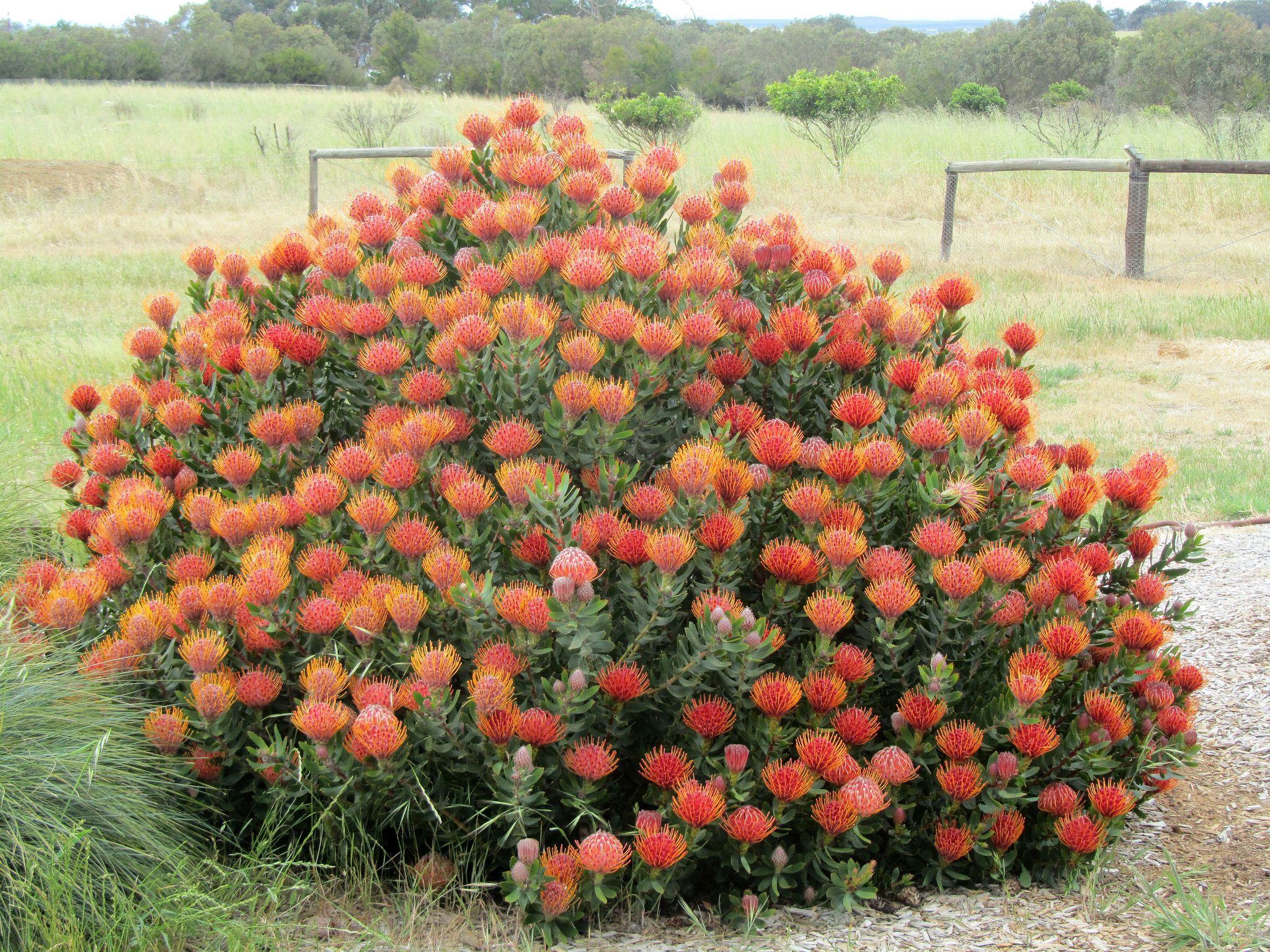 Leucospermum Cordifolium Pincushion Protea Cultivated Australian Native Garden Australian Garden Native Garden