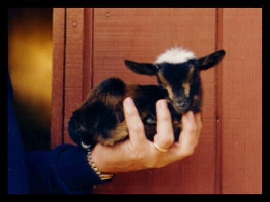 Nigerian Dwarf Goats (omg it's a baby one but they are too ...