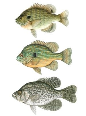 TROUT BASS BLUE GILL CRAPPIE FISH LIGHT SWITCH COVERS PLATE AND OUTLETS