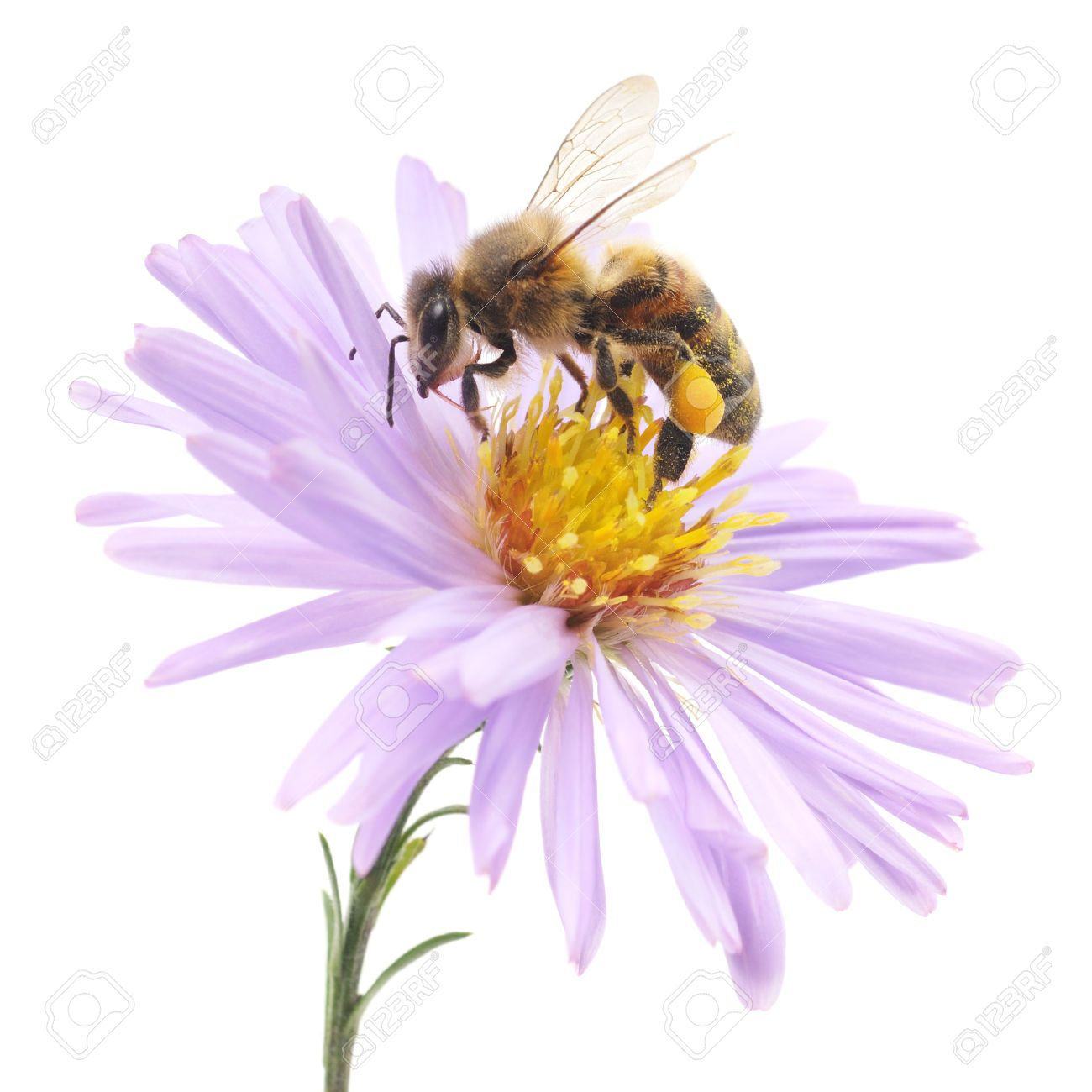 24530081 Honeybee And Blue Flower Head Isolated On