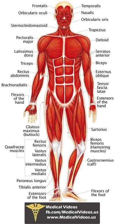 Pin de Mica Marini en Medicine | Pinterest | Anatomía, Fisiología y ...