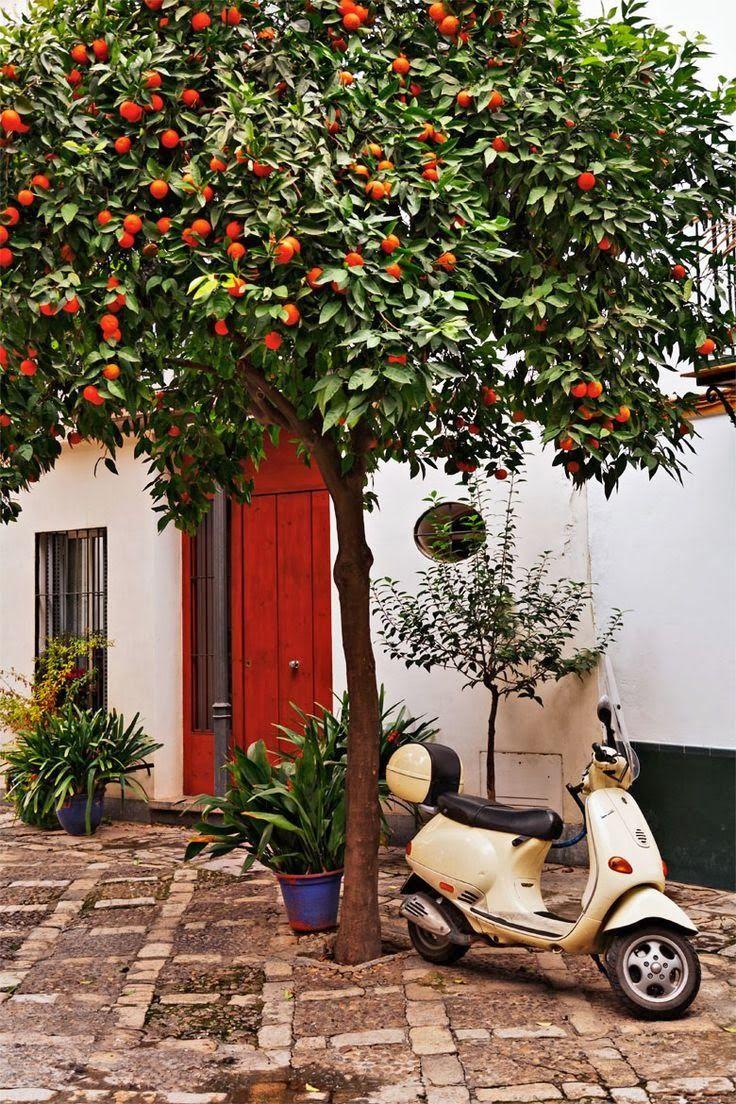 La señora de Marco cultive árboles de naranja. Mermelada de naranja ...