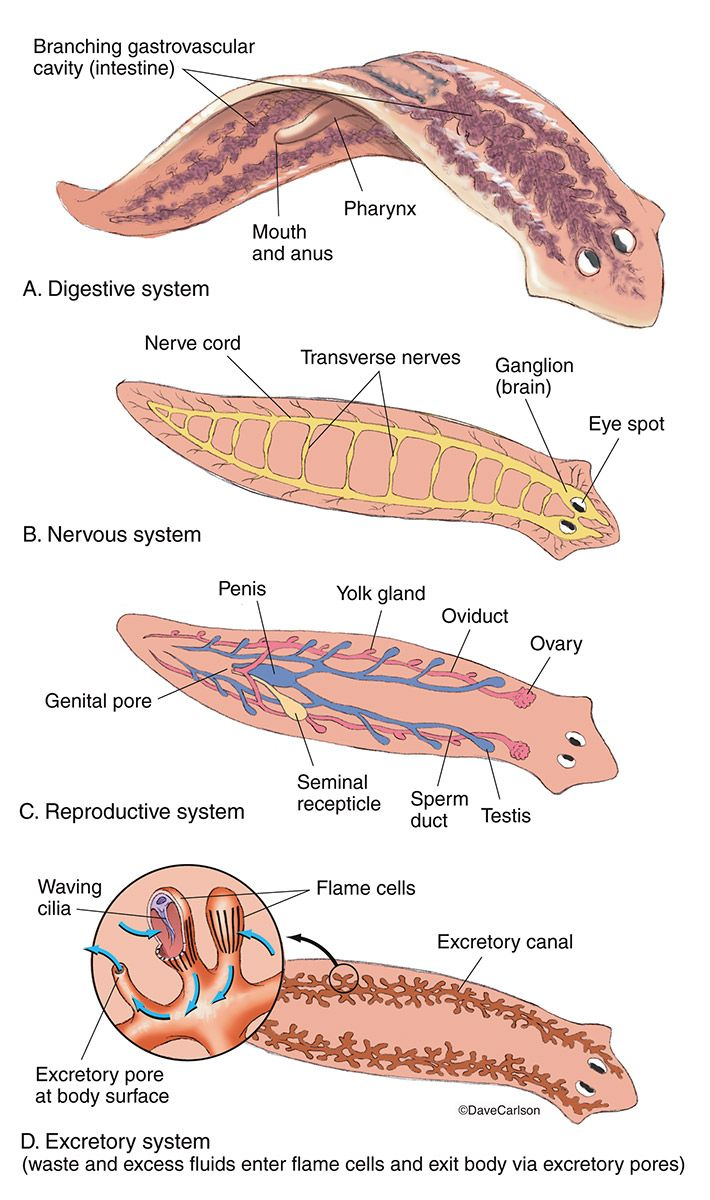 Flatworm Planarian Anatomy Photo Planria Pinterest Anatomy