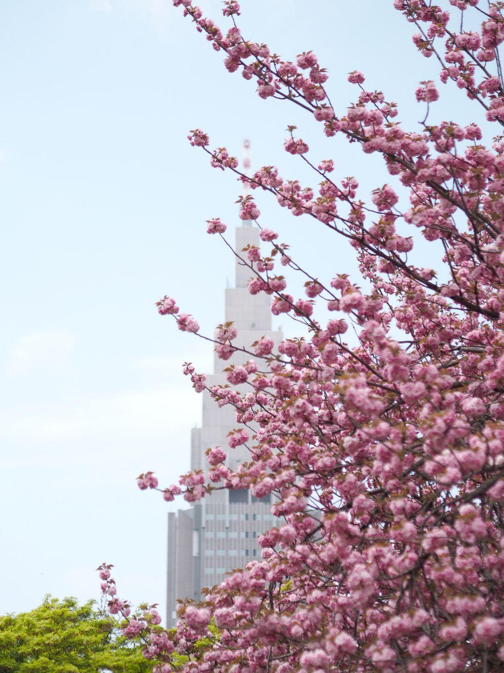 Cherry blossoms in Tokyo | Shinjuku Gyoen, Japan, sakura | Photo: Jenni Rotonen / Pupulandia