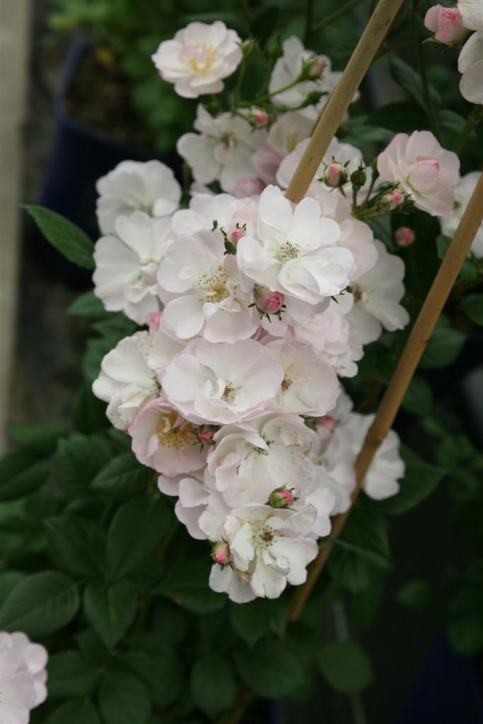 Kletterrose Perennial Blush ®   Rose, Rosengarten und Mehrjährige ...