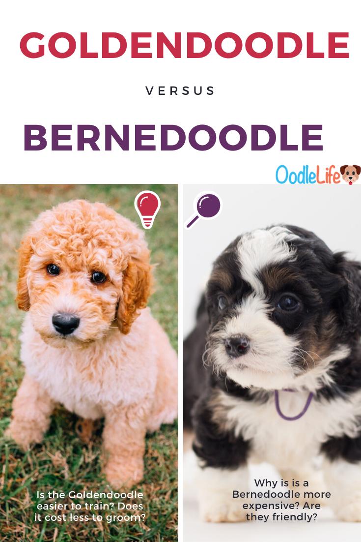 Bernedoodle Vs Goldendoodle How To Decide Which Puppy In 2020 Bernedoodle Goldendoodle Best Dogs For Families