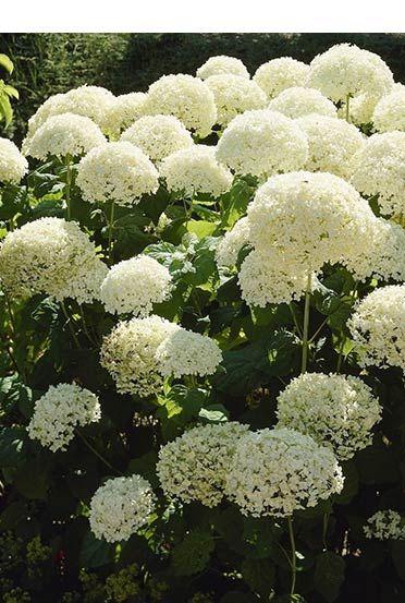 Pflanzen Kaufen Hortensien Garten Pflanzen Garten