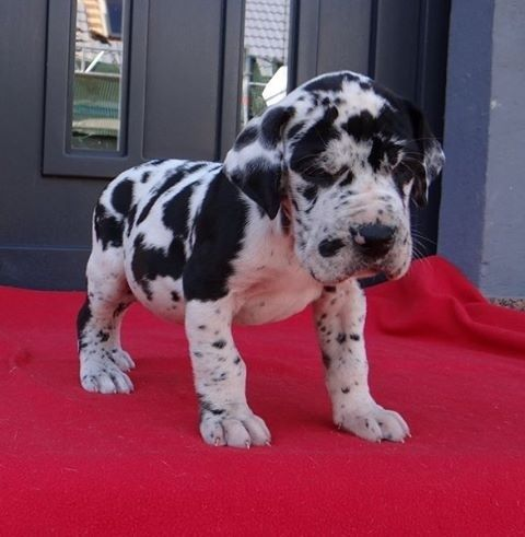 Stunning Great dane Puppies Puppies for Sale animals