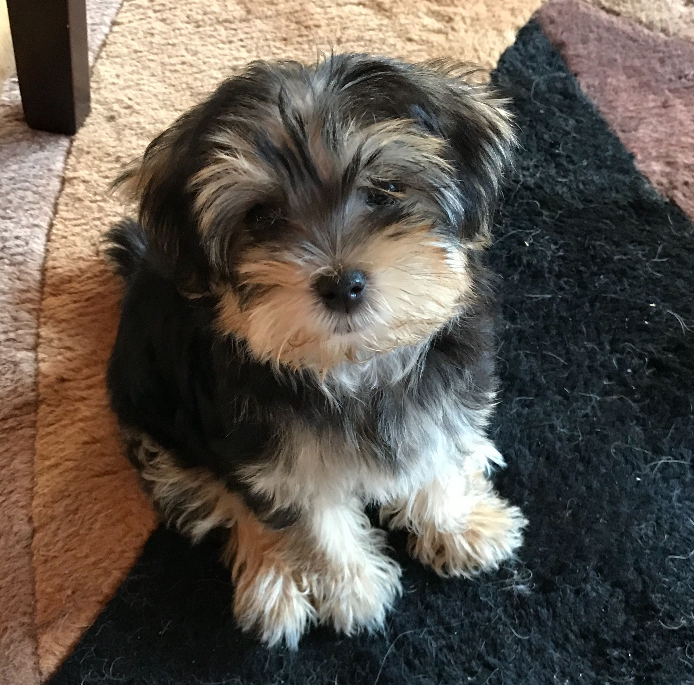 My Little Morkie Kaci Just 12 Weeks Old Morkie Animals Cute Animals