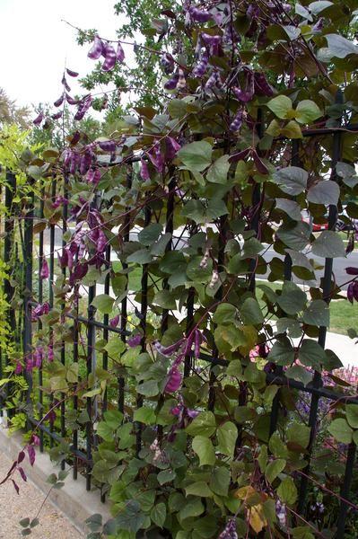 Dolichos Lablab Ruby Moon Ruby Moon Hyacinth Bean Plant