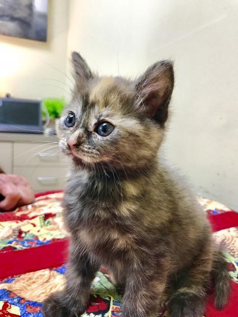 Jamie Tortie Kitten Kittens Puppies Puppies Kitties