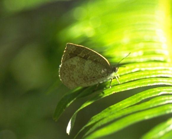 http://ataxus.com/ak5t/japan/lycae2/t00no43m.jpg Japanese Lycaenidae