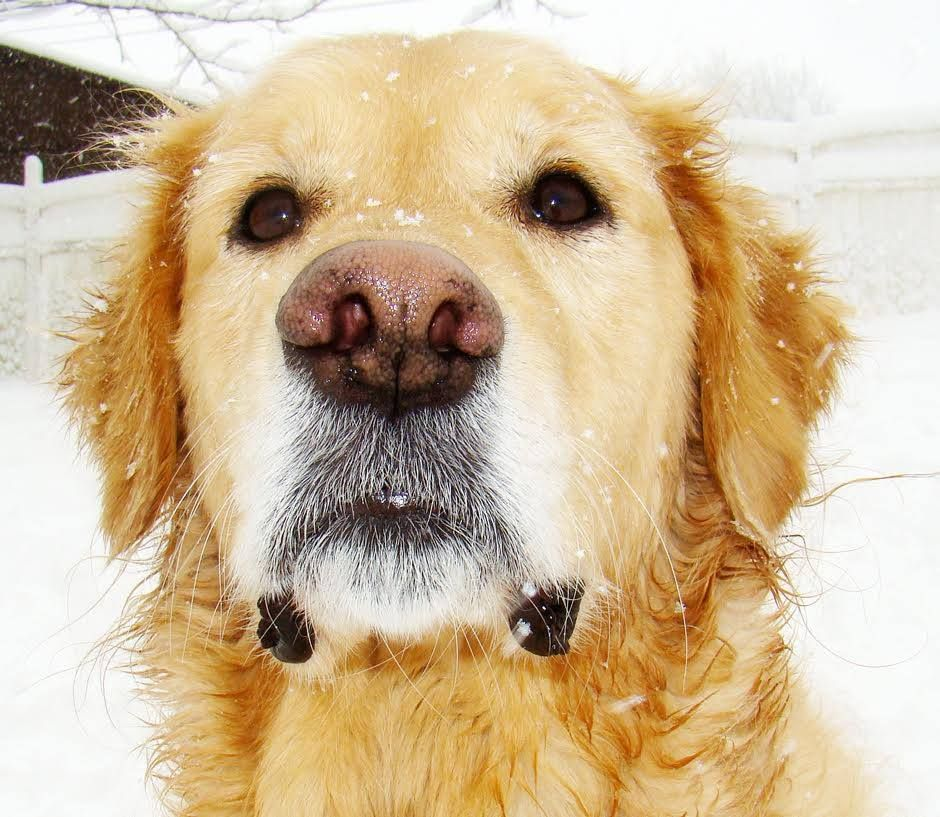 """""""This is my golden retriever, Peyton, who I was photographing while he and his sister were having a good romp in the snow."""" - Kimberly Mabry"""