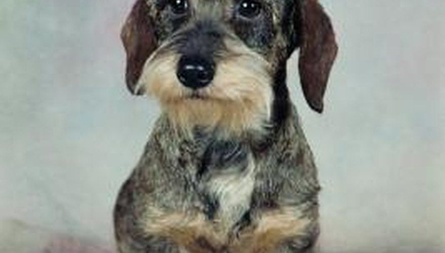Wire Haired Dachshund Grooming Styles In 2020 Wire Haired Dachshund Dachshund Grooming Style