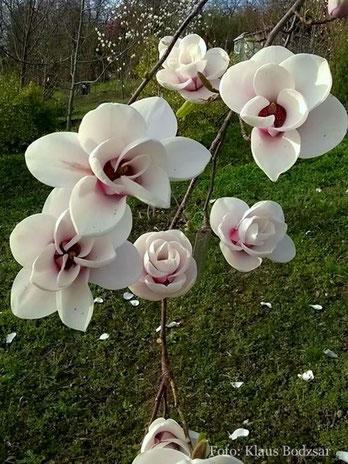 Cassiopeia Magnolien Fruhling Bilder Fruhlingsbilder