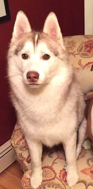 Pin By Sharon Boulanger On Lost Dogs Ri Husky Losing A Dog Red