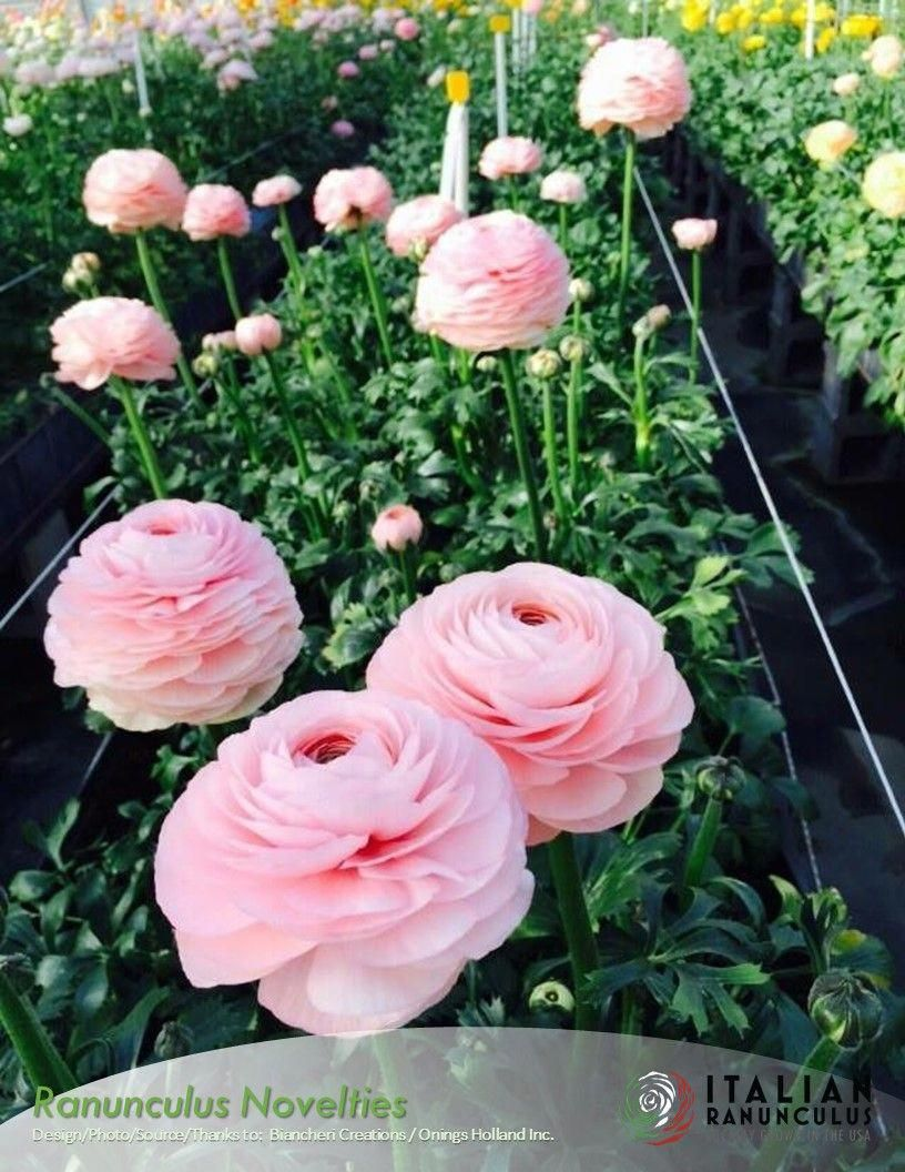 New Italian Ranunculus Are Introduced Every Year Ranunculus Ranunculus Garden Flowers Ranunculus
