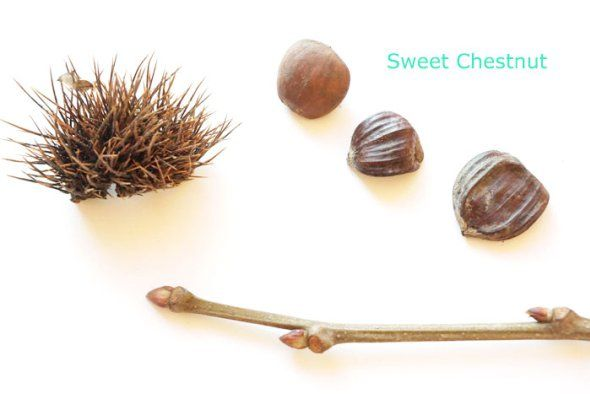 sweet chestnut winter id - includes spotter sheet free printable for kids winter nature activity and learning