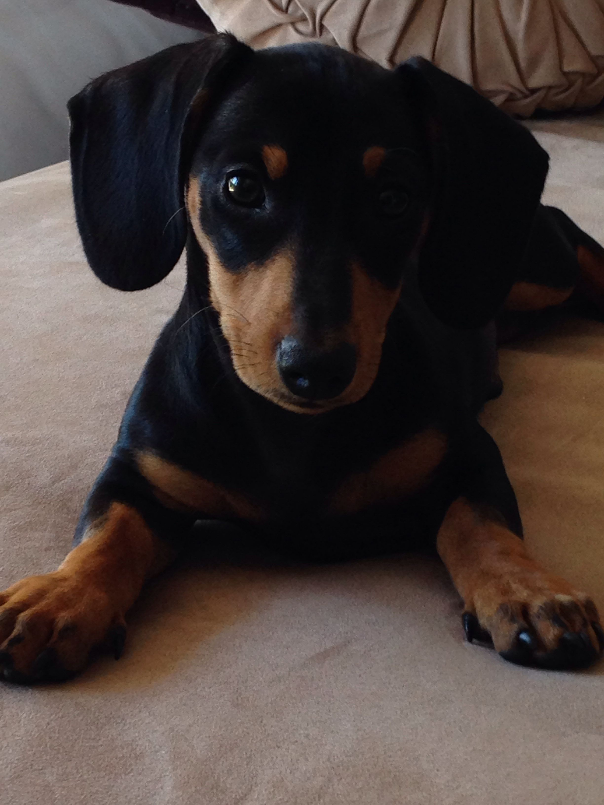 Hendrix The Sausage Dog Almost 4 Months Old Now What A Darling Boy Doxie Puppies Wiener Dog Weiner Dog