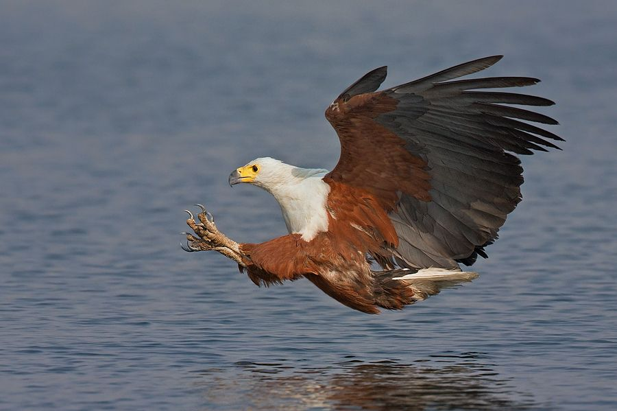 African Fish Eagle by Francois Retief, via 500px