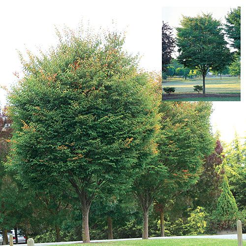 Zelkova Serrata Green Vase Is A Lovely Tree With A