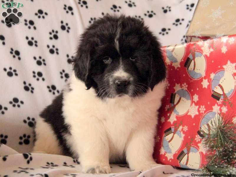 Page Not Found Newfoundland Puppies Newfoundland Dog Big Dogs