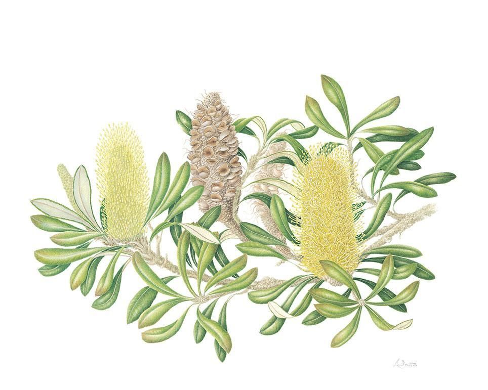 Lindsay Watts Banksia Integrifolia Coastal Banksia Basq Australian Wildflowers Botanical Art Botanical Drawings