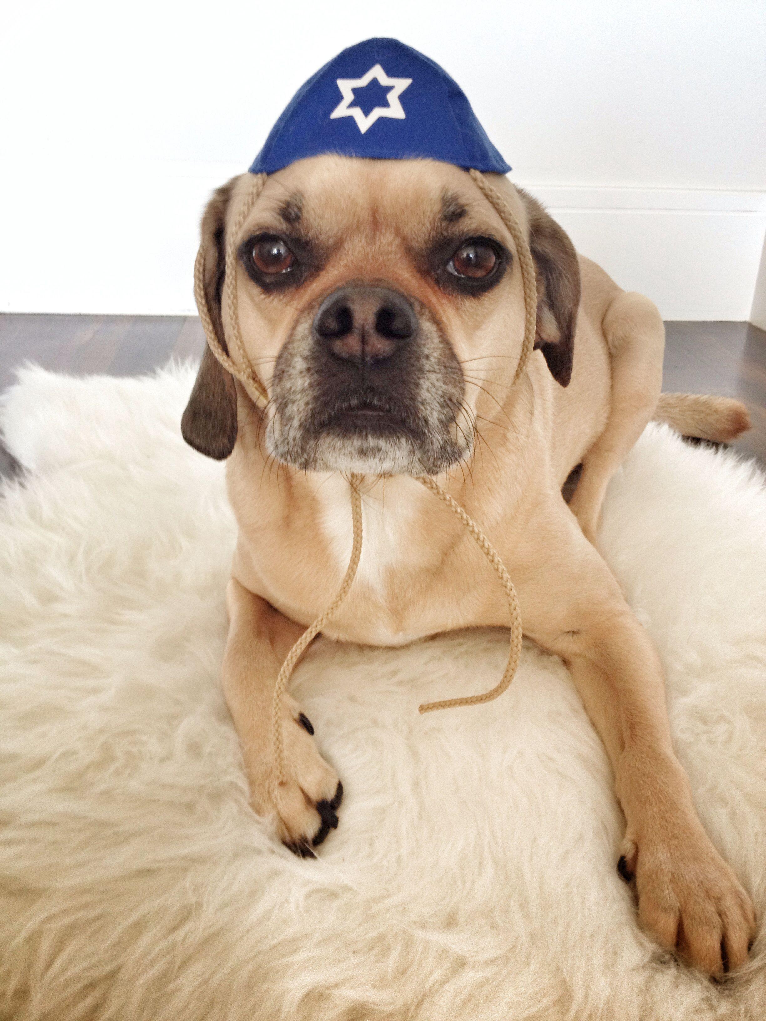 Hanukkah Harry Pitcha The Puggle Pinterest Hanukkah Dog And