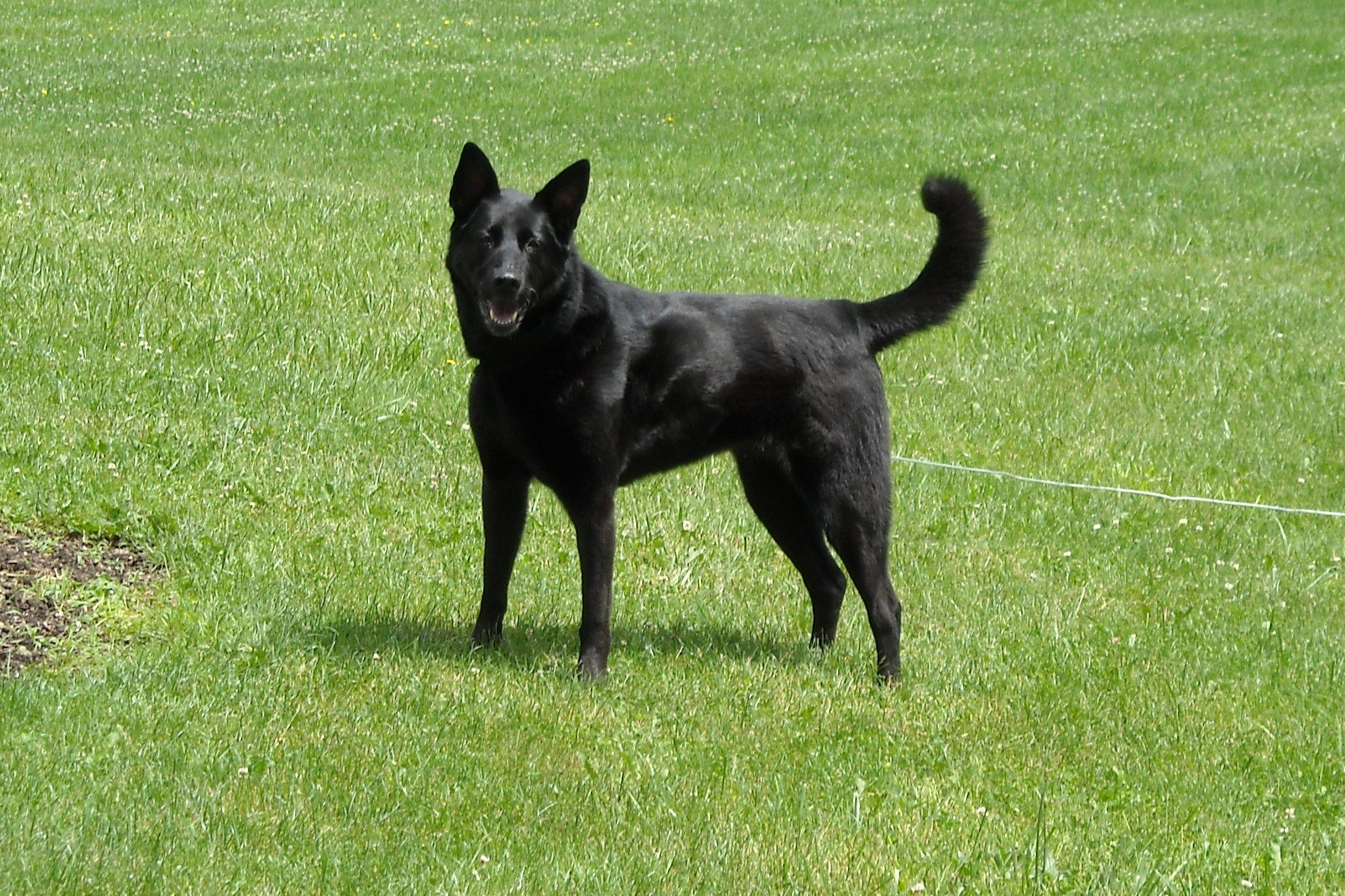 Akita Black Lab Mix The Best Dog In The World Looks Like Herc