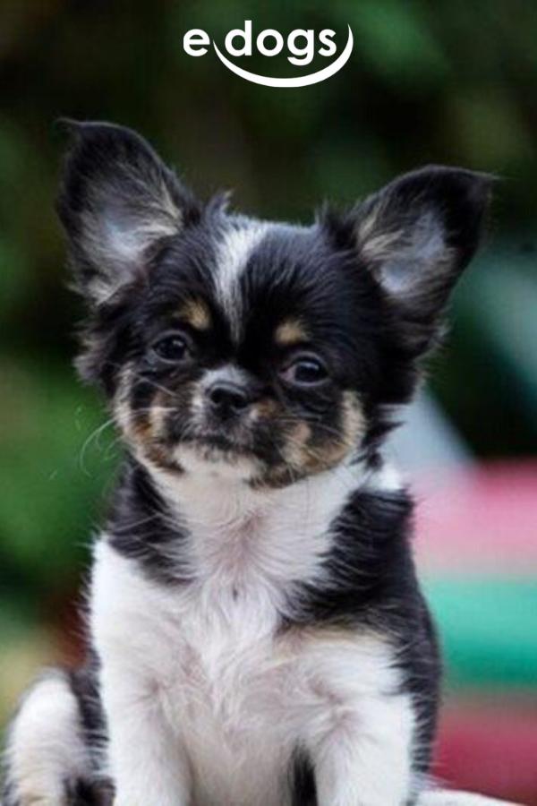 Zuckersusse Chihuahua Chihuahua Welpen Langhaar Chihuahua Chihuahua Welpen