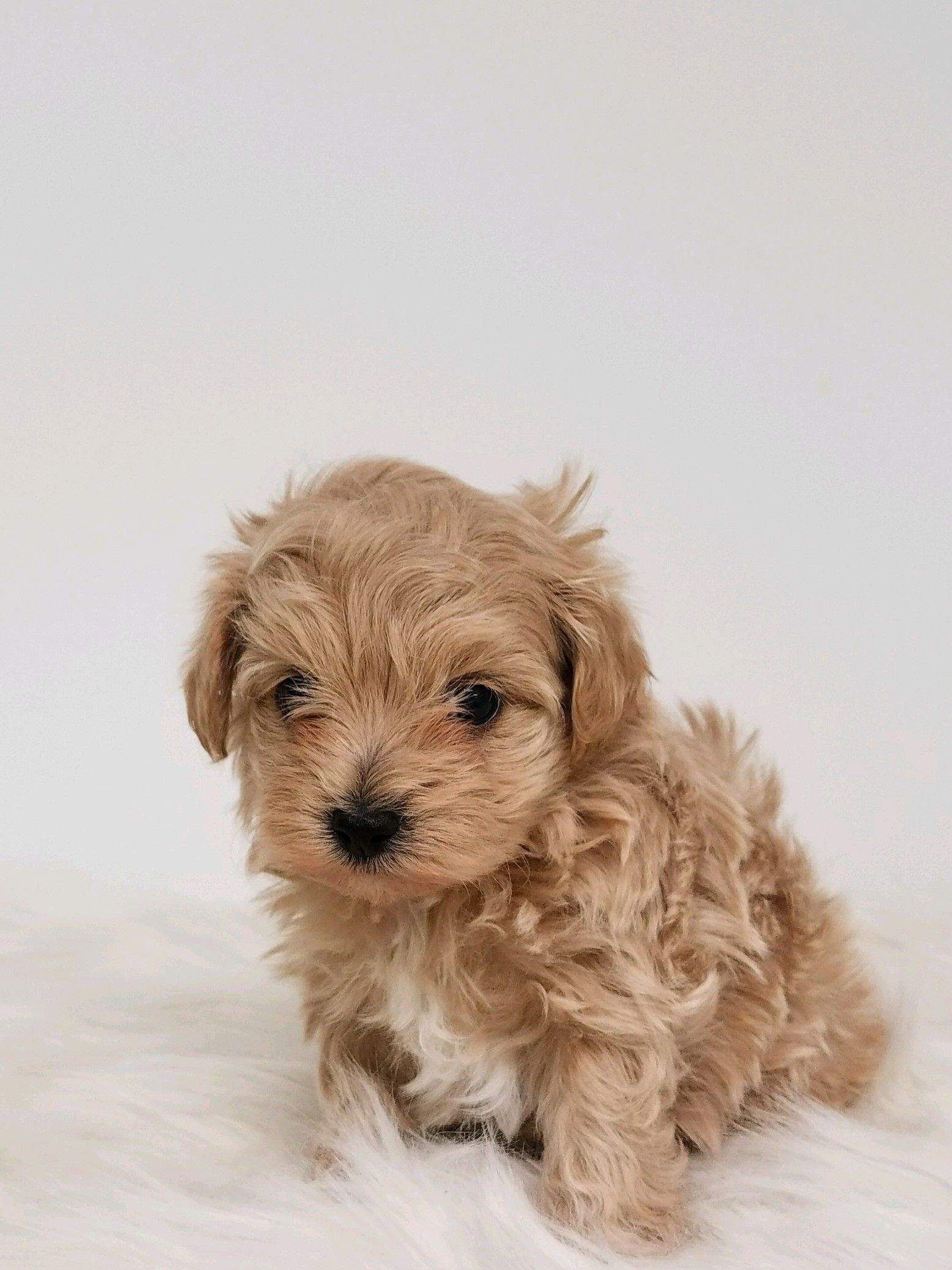 Designer And Mix Puppies Morkies Maltipoos Red Maltipoos Yorkshire Terrier Shih Tzu Havanese Toy And Teac Maltipoo Dog Maltipoo Puppy Yorkie Poo Puppies
