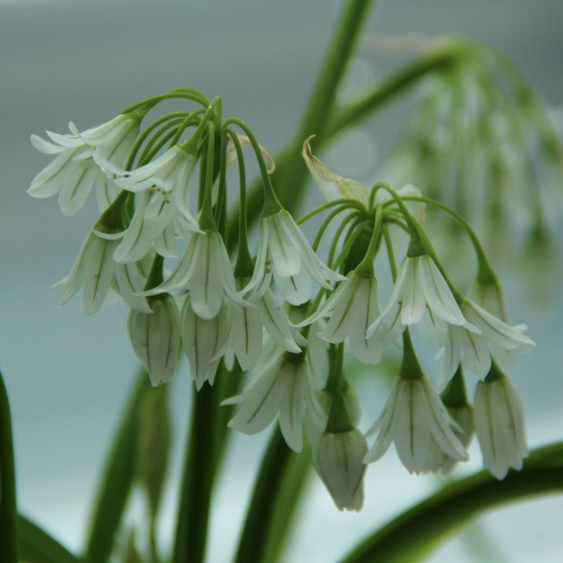 Sehr Schoene Arschloecher: Glöckchen-Lauch, Schnee-Lauch, Sehr Schöne Weiße Allium