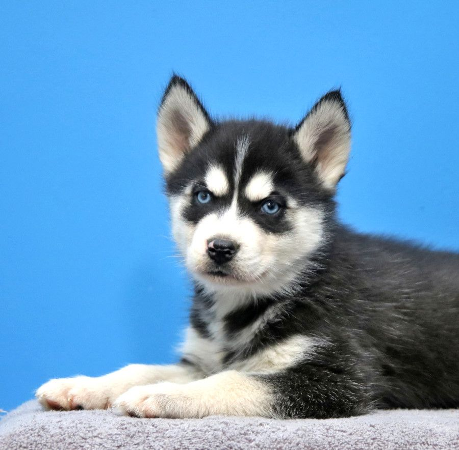 Husky Puppies For Sale Husky Puppies For Sale Puppies Siberian