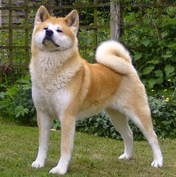 Cute shiba inu puppy puppies dog dogs brown aesthetic