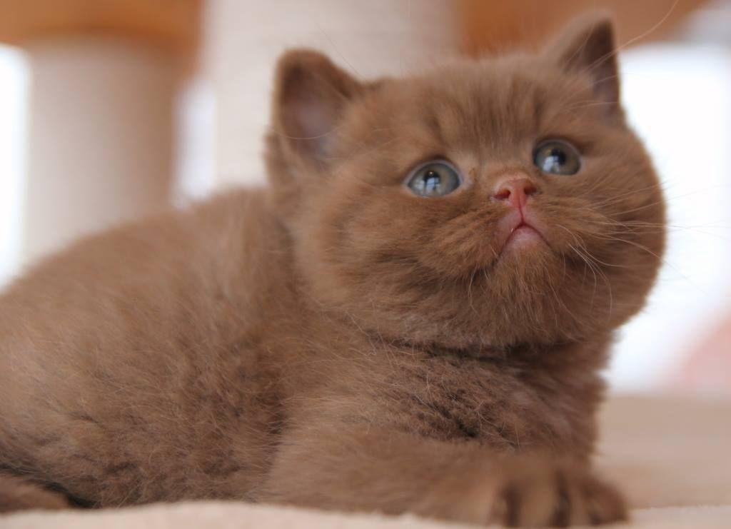 Gato britanico de pelo corto bebe