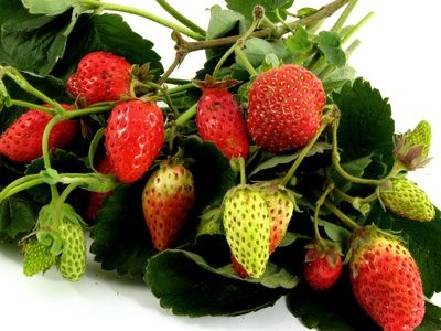 How To Plant Strawberries In Texas They Are Perennial Use Strawberry Starter Plants And Between Sept A Raised Garden Bed