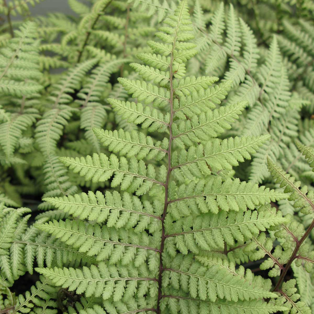 How to Use Ferns in Your Garden or Landscape is part of Longfield gardens, Shade garden plants, Ferns garden, Summer bulbs, Outdoor flowers, Bulb flowers - Ferns enhance the beauty of any shady garden or landscape  Learn how to plant and grow these hardy perennials, and which varieties are best