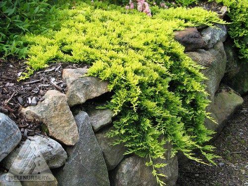 Juniperus Horizontalis Mother Lode Dwarf Golden Creeping Juniper Evergreen Landscape Conifers Garden Plants