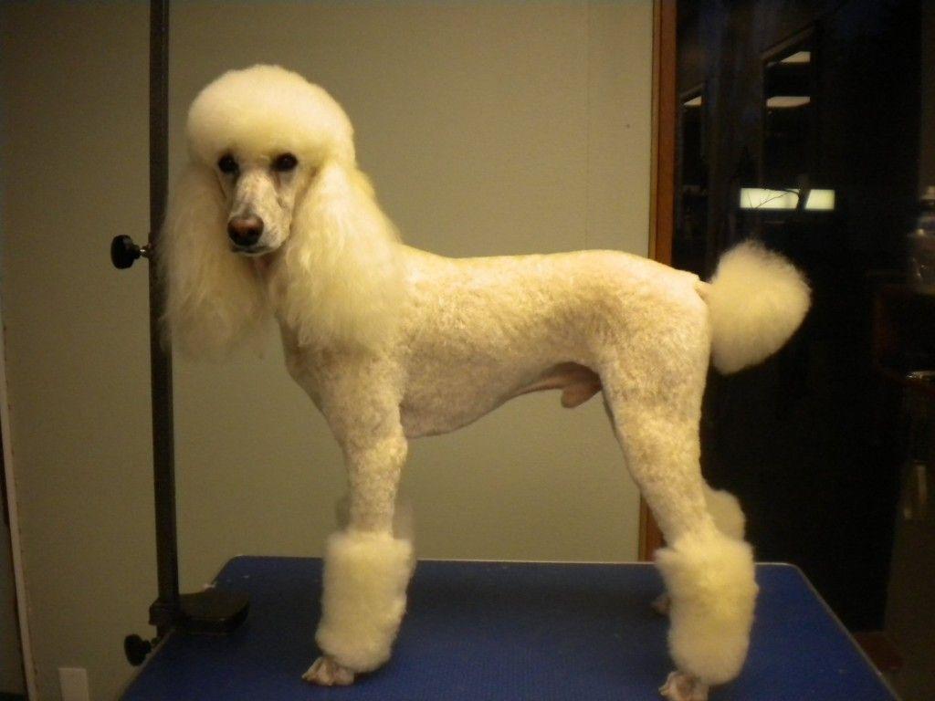 poodle haircuts | dog haircuts | pinterest | poodle haircut