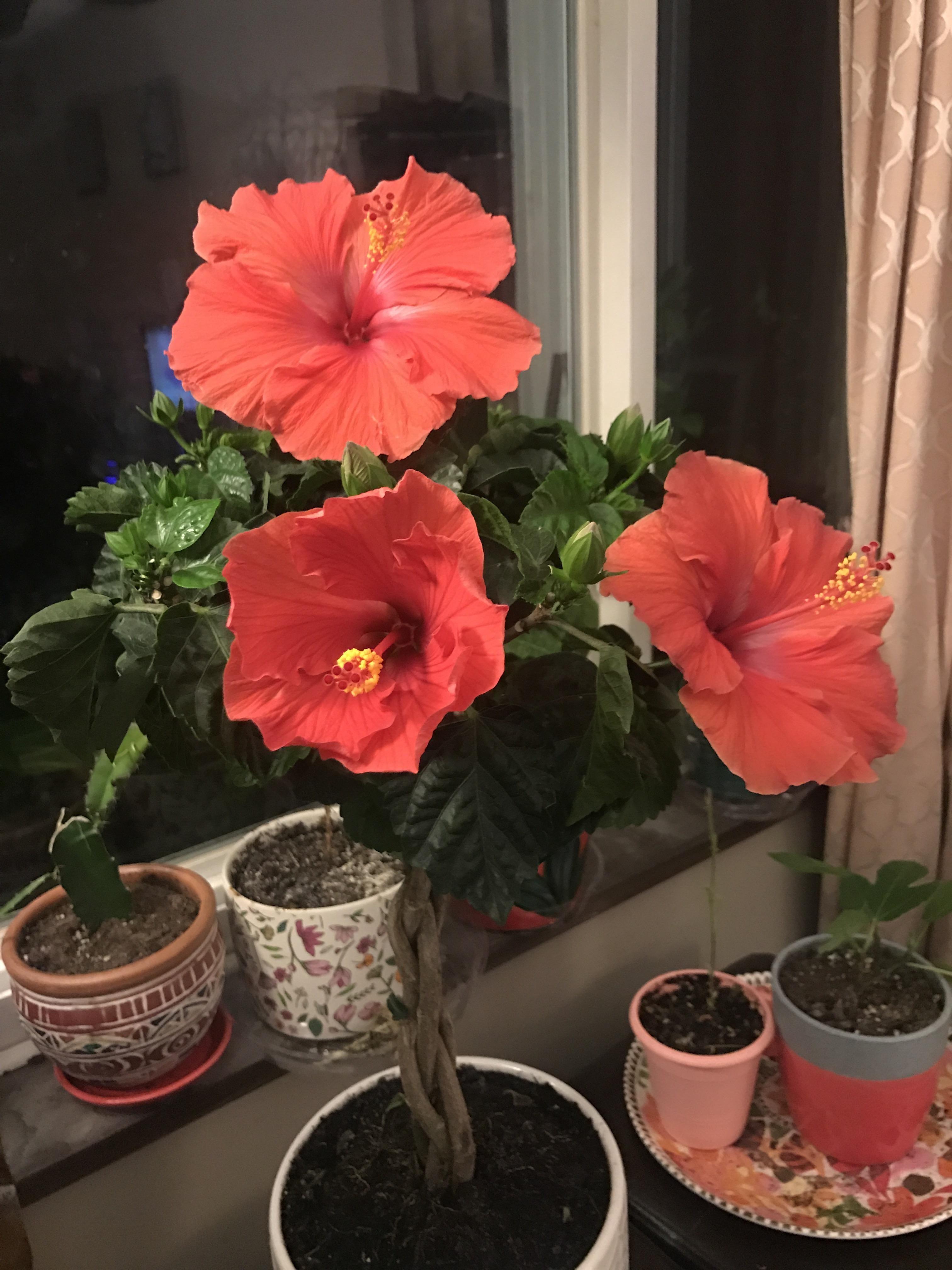 Got Three Hibiscus Blooms Today Gardening Garden Diy Home