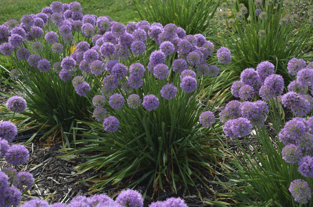 Allium Garden Plants Flowers Garden Plants Ideas Garden Plants